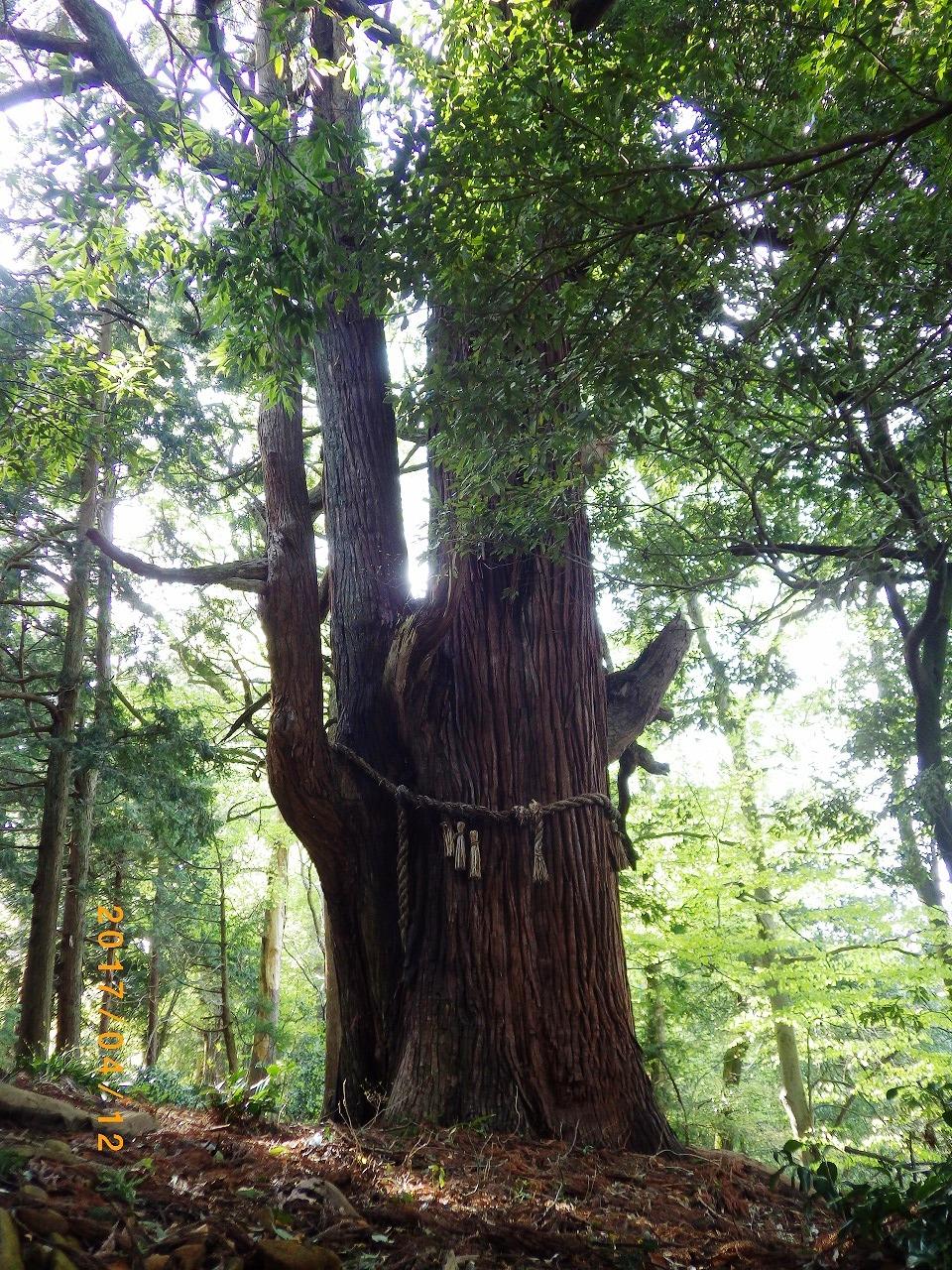 1531弐の杉