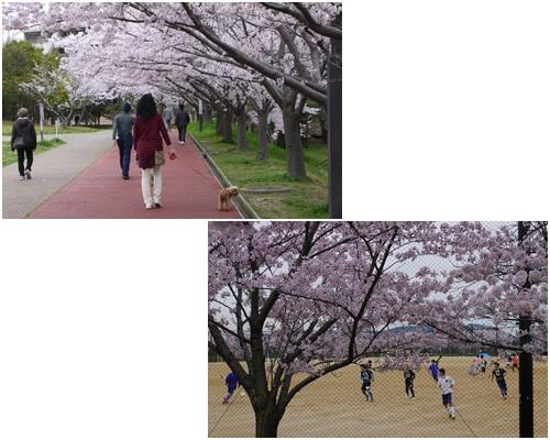2017花見散歩1
