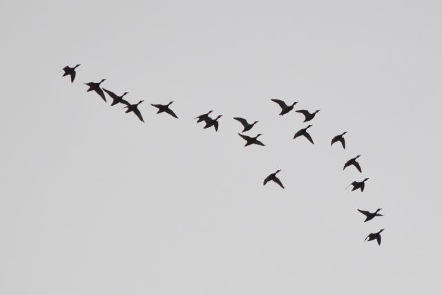 カモの群れ201701020000001