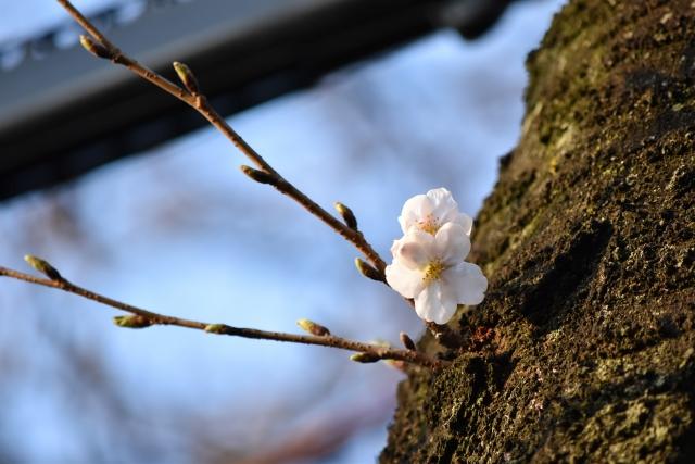 桜20170300000013