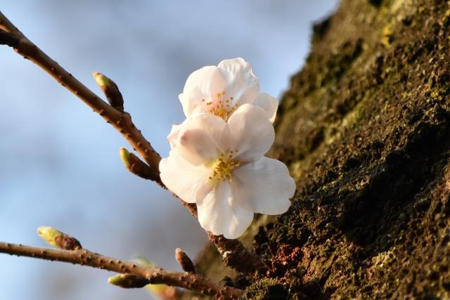 桜20170300000014