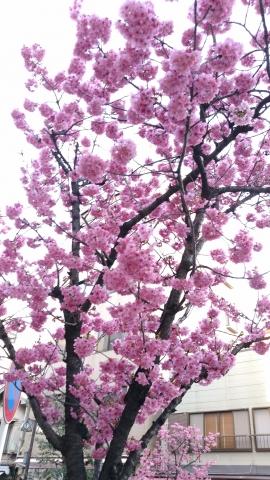 野毛桜20170300001