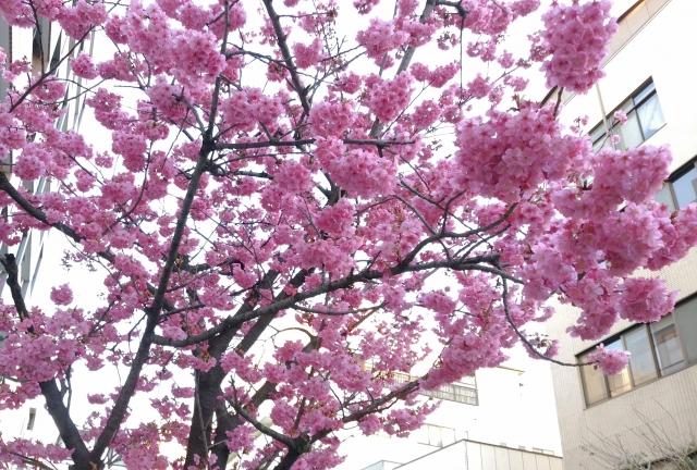 野毛桜20170300003