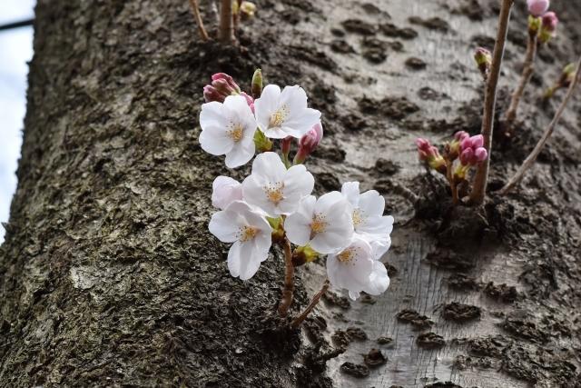 桜2017040200000002