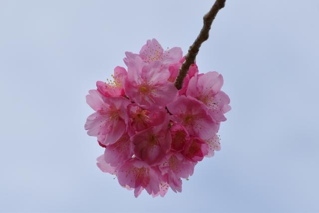 桜2017040200000005