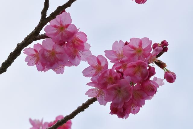 桜2017040200000006