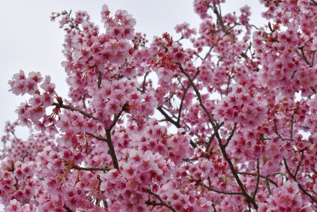 桜2017040200000007