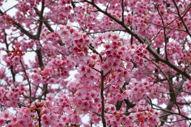 桜2017040200000009