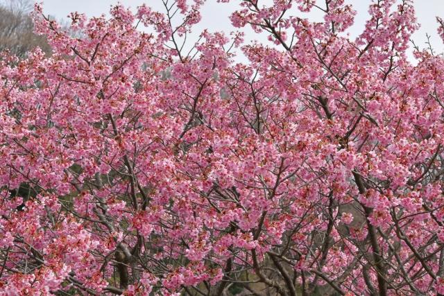 桜2017040200000010