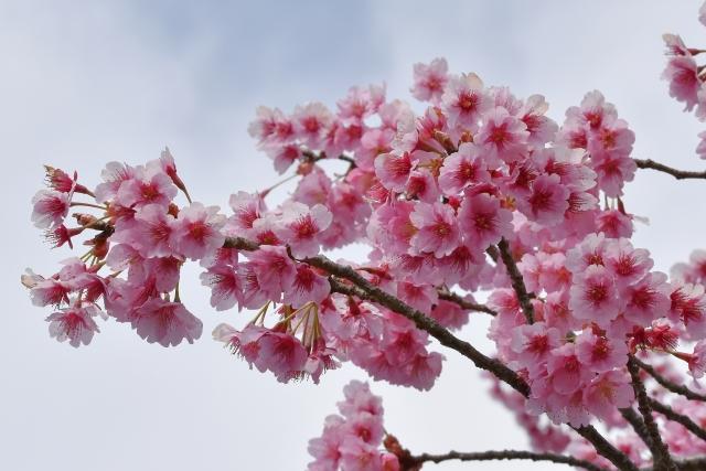 桜2017040200000013