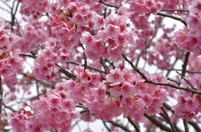 桜2017040200000014