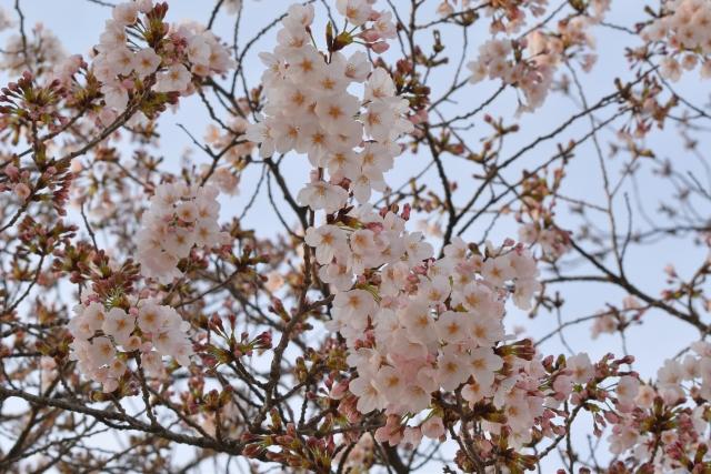 桜2017040200000015