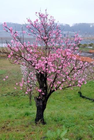 桜20170400000010
