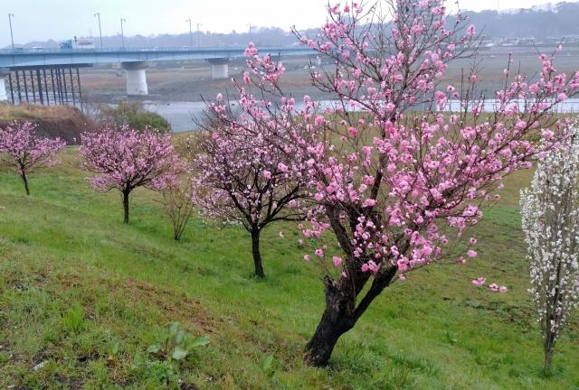 桜20170400000012