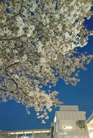 たまプラ桜201704000003