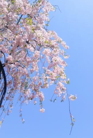 桜舞い散る20170414000005