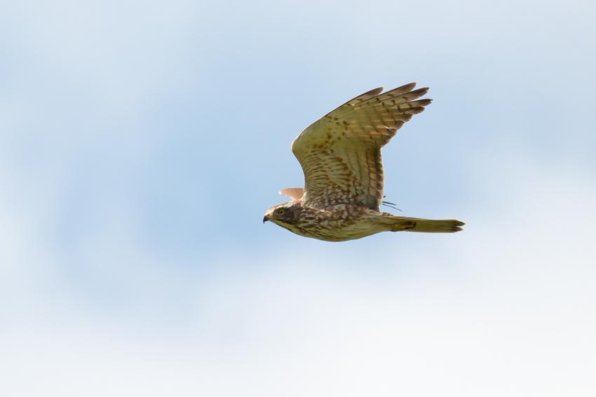 170404サシバ幼鳥1