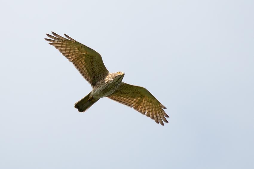 170404サシバ幼鳥2