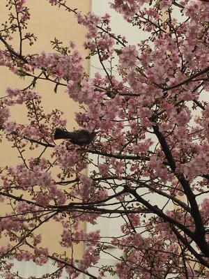 2017.2.5桜3