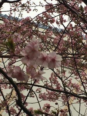 2017.2.5桜4