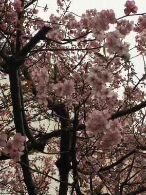 2017.2.5桜5