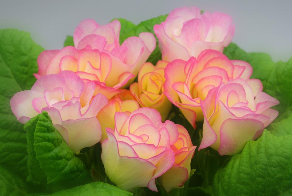 7765 バラ咲きジュリアン 960×645