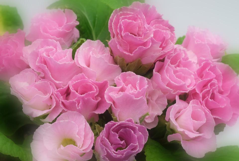 7769 バラ咲きジュリアン 960×645
