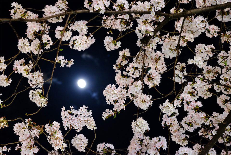 8306 夜桜に月 960×645