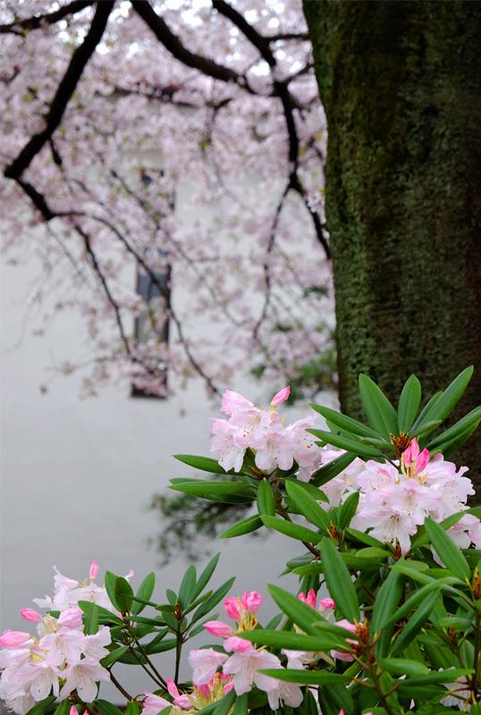 8431 石楠花と桜 538×800