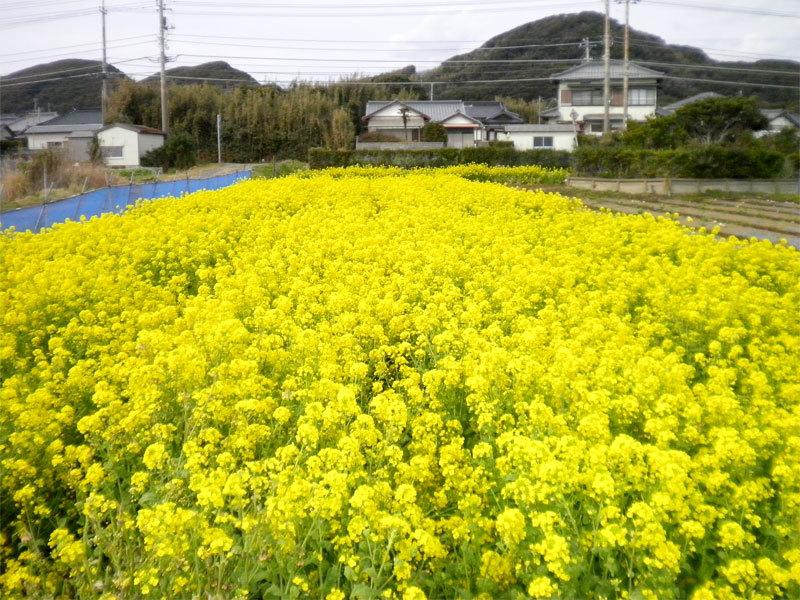 なばな(2017/03/08)