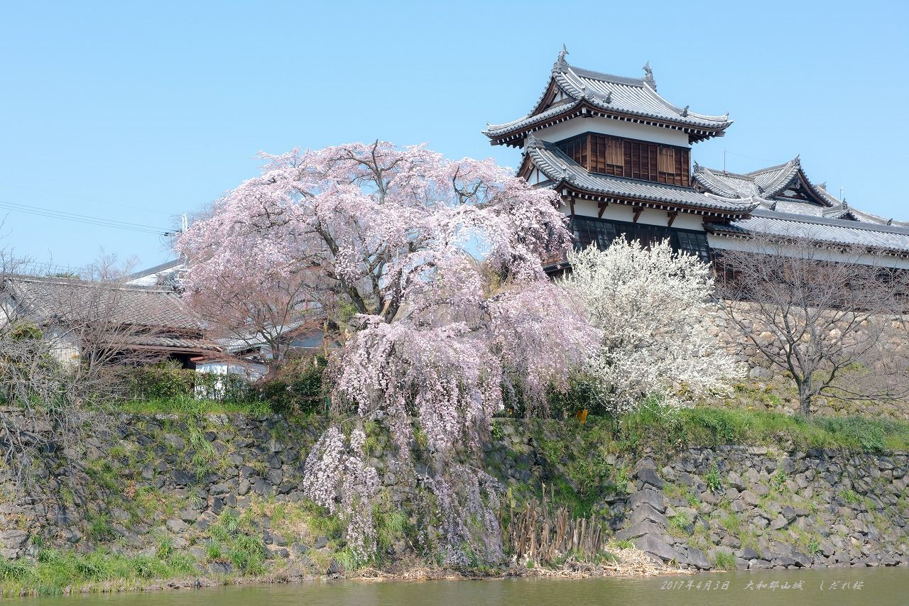 201704 大和郡山城 しだれ桜