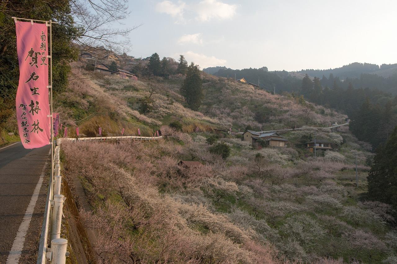 201703 賀名生梅林 (1)