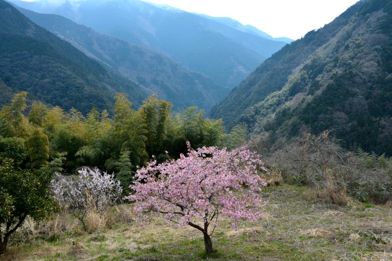 「山村に咲く寒桜」