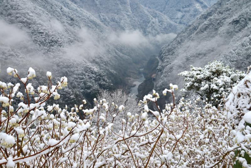 「まもなくの春1」(三椏の花)