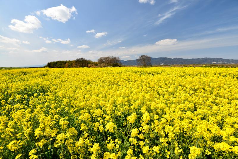 「黄色い絨毯1」  (徳島県鴨島)