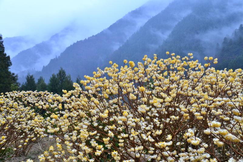 「三椏 山間に咲く2」  (徳島県神山)