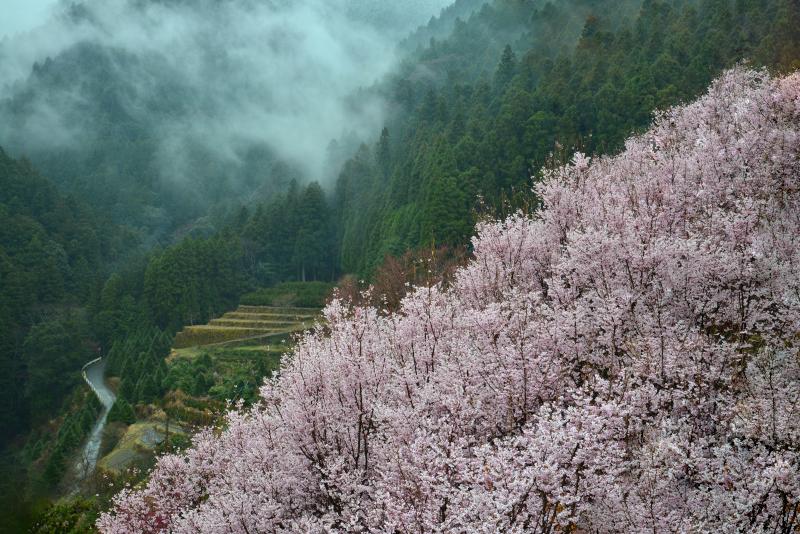 「霧雨に煙る桜花1」  (徳島県神山町)