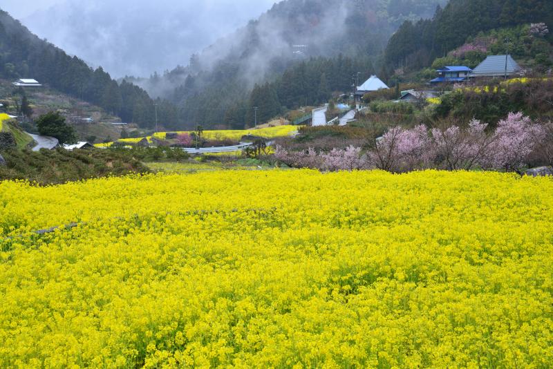 「菜の花の里」  (徳島県神山町)