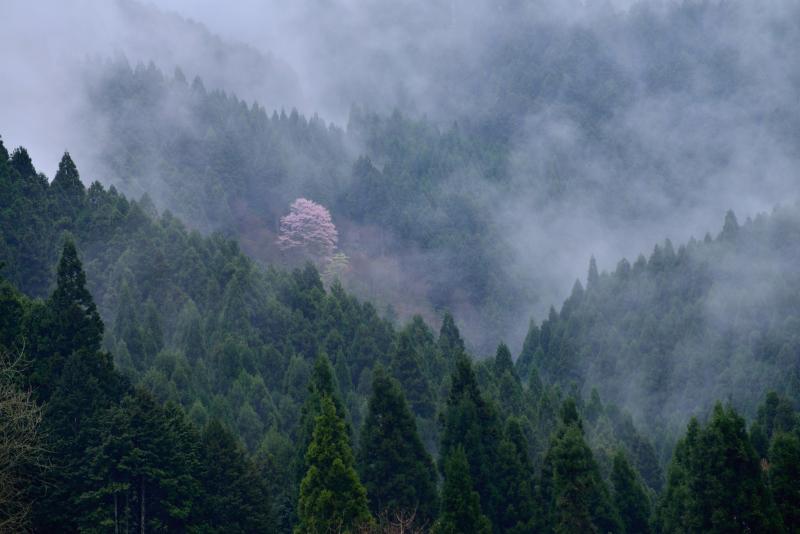 「孤高の桜」   (徳島県山城町)