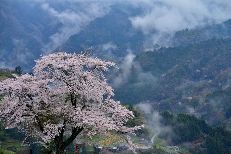「天空の桜花1」   (徳島県山城町)