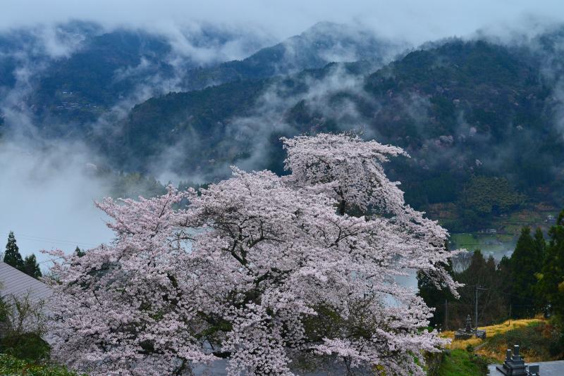 「天空の桜花3」   (徳島県山城町)