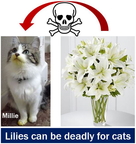 Lilies-can-be-deadly-for-cats