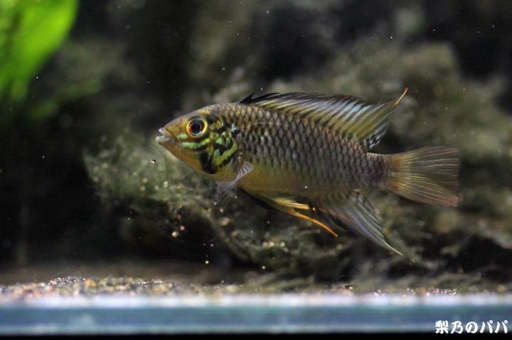 sp.グアビアーレ♂28