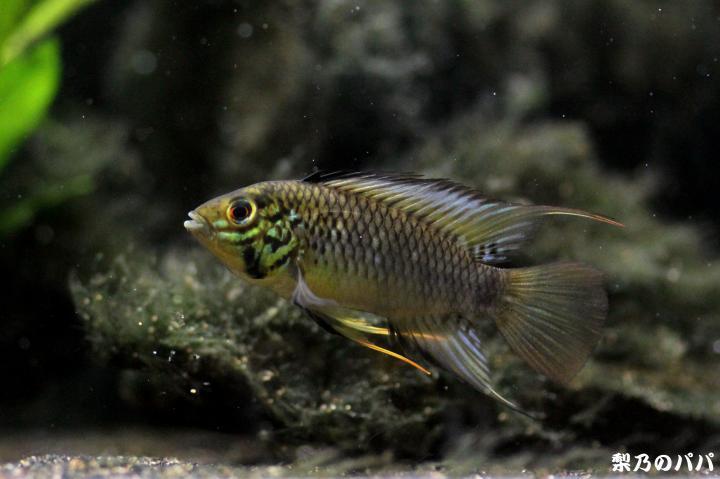 sp.グアビアーレ♂29