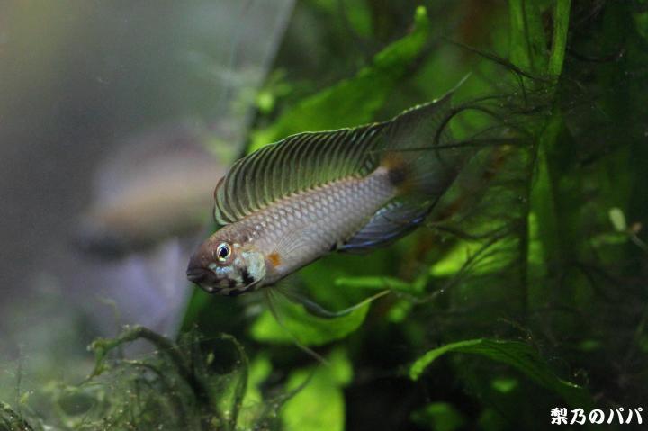 フラベリカウダ.アタバポ♂3