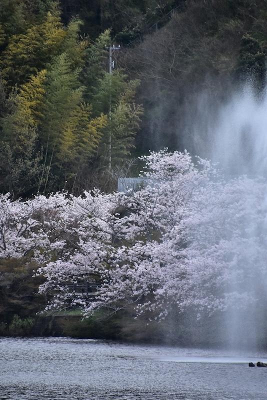 桜花舞い散りて…