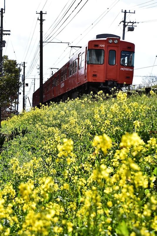 菜の花と電車