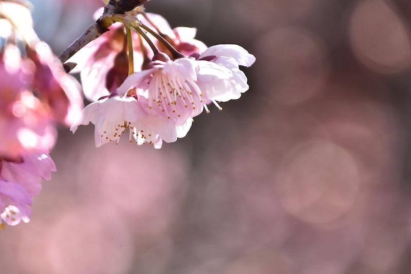 さくら咲く