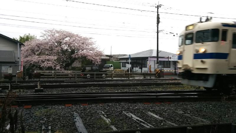 415系桜
