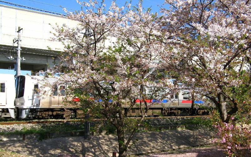 811系桜